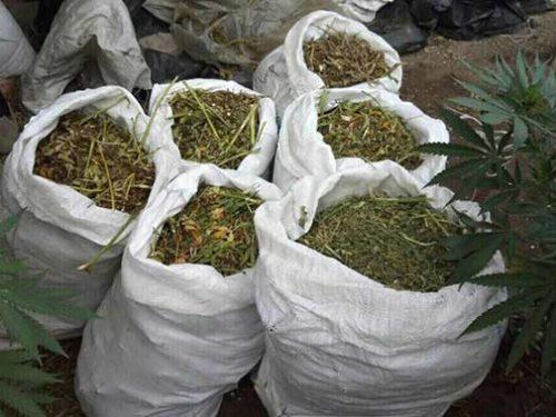 Як дипломований агроном із товаришем 40 кг марихуани виготовили