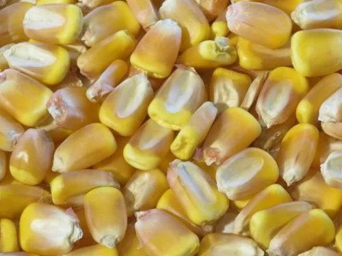 На Херсонщині вантаж з насінням кукурудзи повертають до США